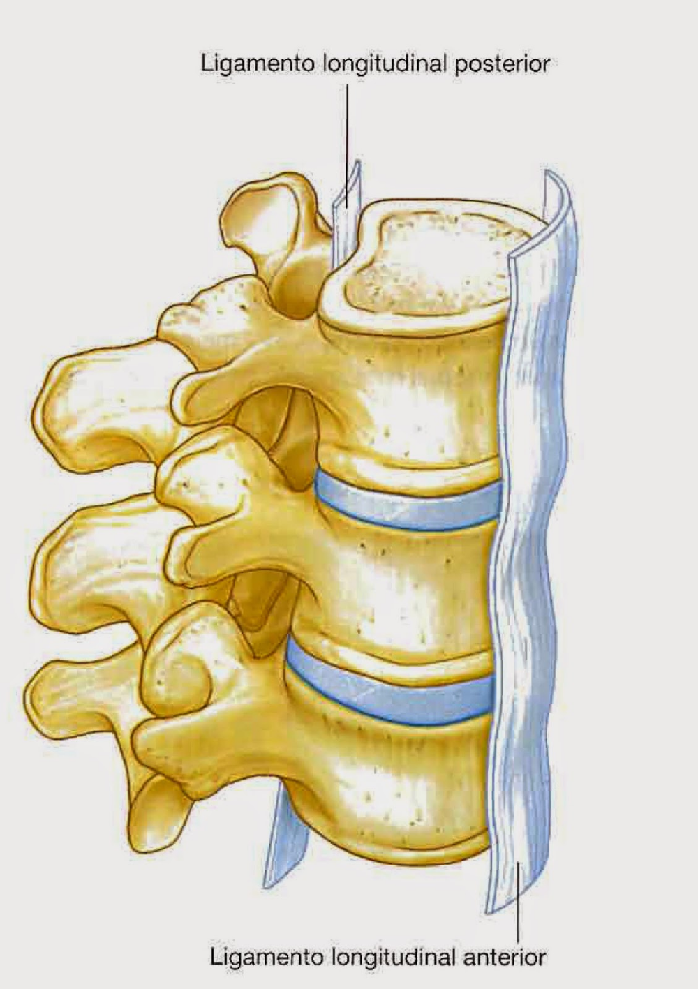 Anatomia De La Columna Vertebral Columna Vertebral Ligamentos Y Musculos Anatomia Anatomia Medica Musculos