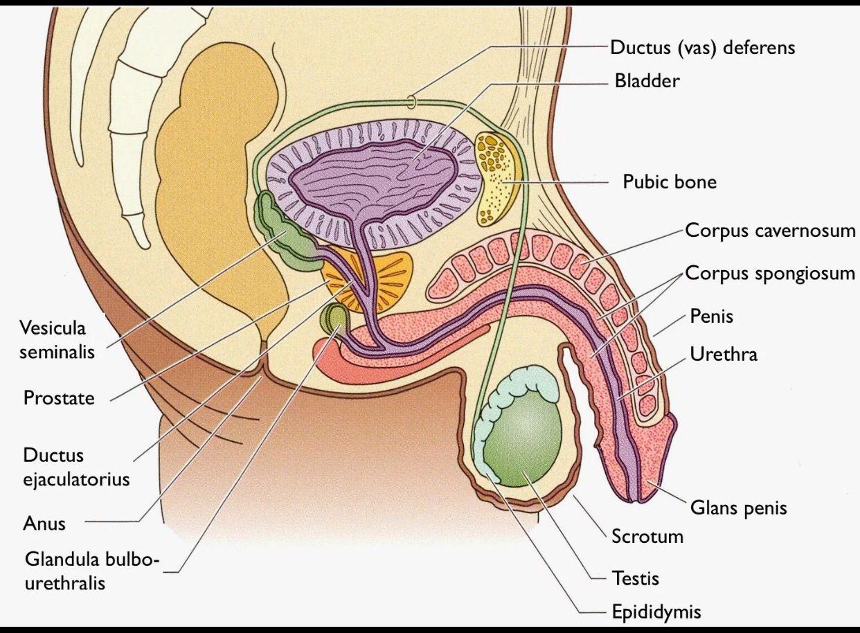 Vistoso Anatomía De Pennis Adorno - Anatomía de Las Imágenesdel ...