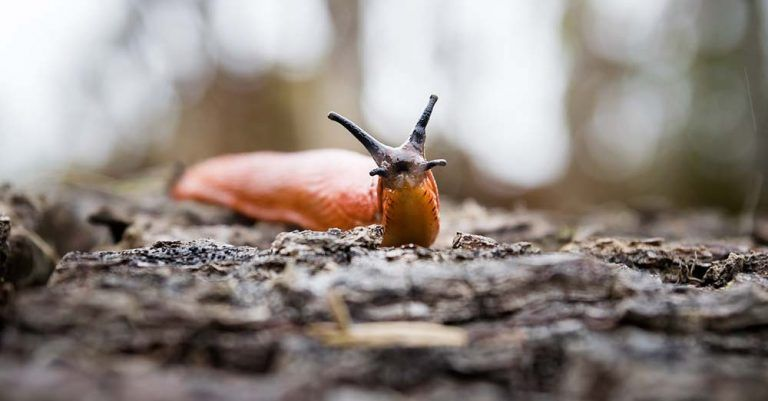 Garden slugs 3 easy ways to kill them without poison