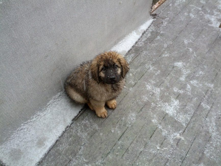 is this a Leonberger puppy ?... No idea, but omg