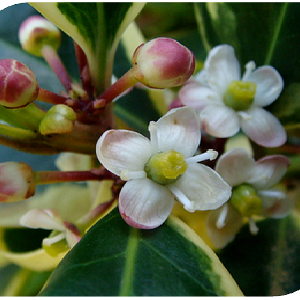 HollyThe Heart opening Flower Birth flowers, Holly