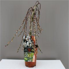 Dwarf Weeping Willow Tree Great Gift For Him And Her Mothers Day Birthday Or Thank You Present Golden Flowers Dark Green Leaves Fully Hardy