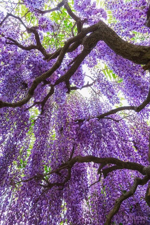 Pin By Arum Sekarwangi On Japan Themed Wisteria Tree Purple Wisteria Wisteria Garden