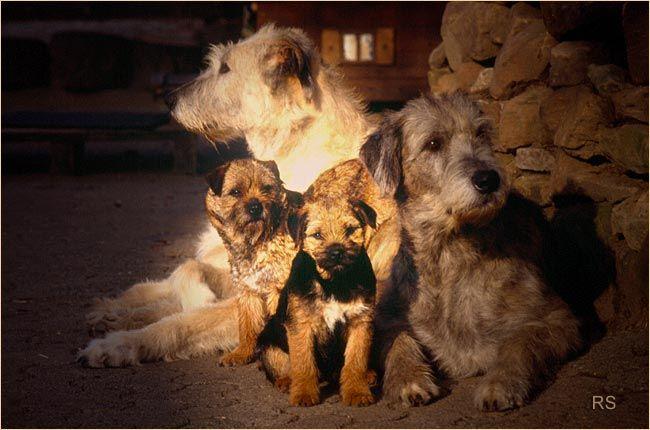 Tir Na N Og Irish Wolfhounds Border Terriers Border Terrier