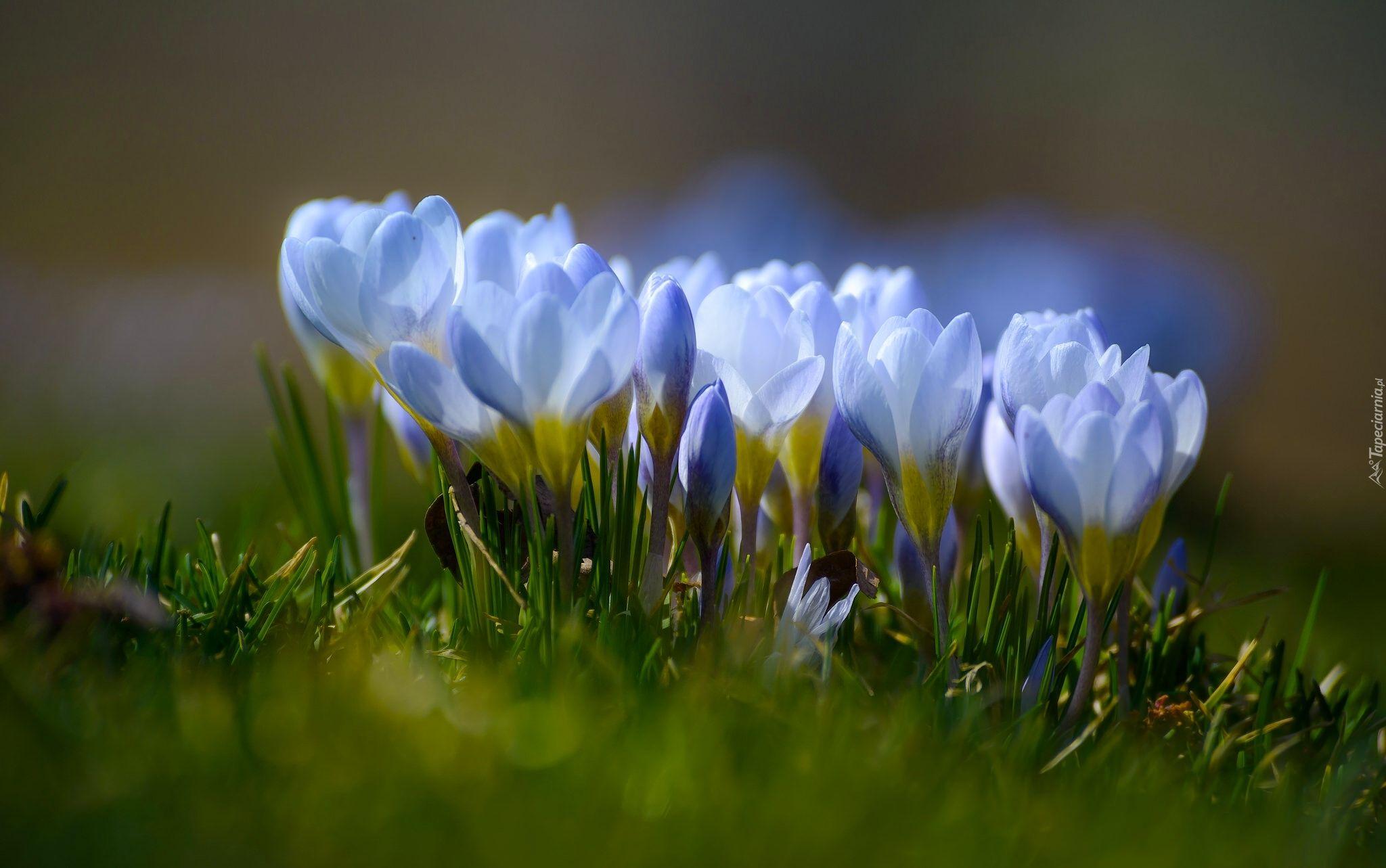 Wiosna Kwiaty Krokusy Flowers Crocus Grass Flower