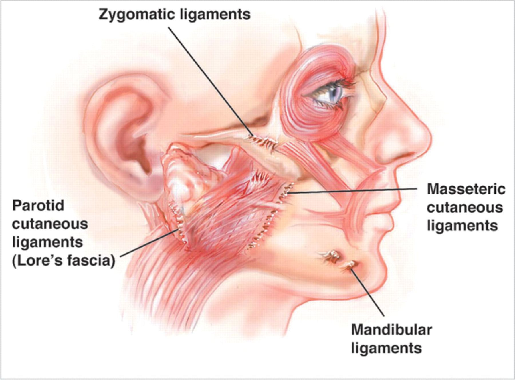 zygomatic ligament - Google Search | medical | Pinterest