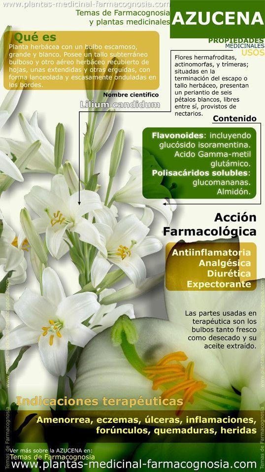 Azucena beneficios infograf a resumen de las for Planta decorativa con propiedades medicinales