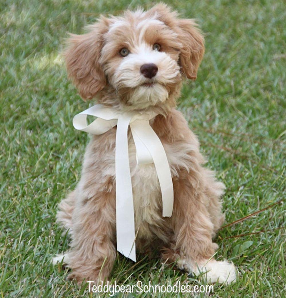 Medium Teddy Bear Schnoodles Teddybear Schnoodles Schnoodle Puppy Schnoodle Dog Schnoodle