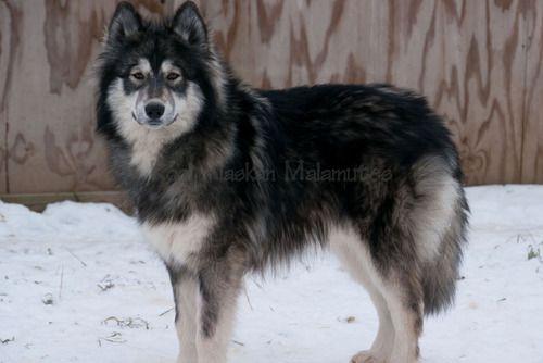 Siberian Husky Collie Mix Google Search Wolf Dog Breeds Wolf