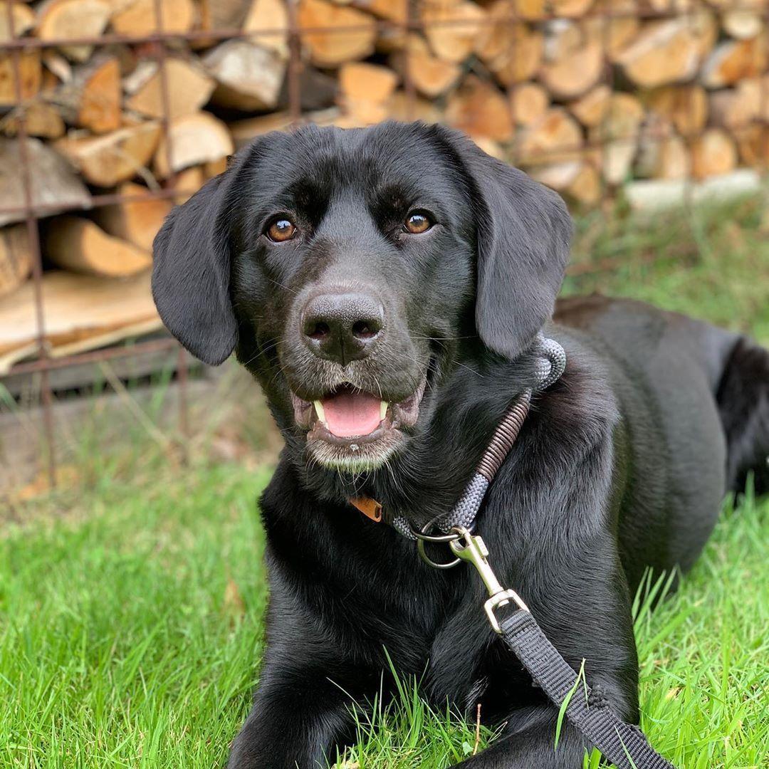 Labrador Puppy Black Colour In 2020 Black Labrador Dog Black