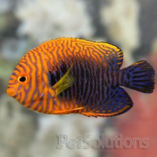 Saltwater Aquarium Potter S Angel Saltwater Fish Tanks Marine Fish Tropical Fish Aquarium