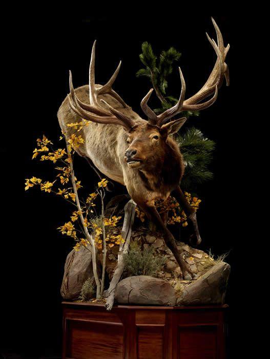 Beautiful Elk Taxidermy I Like Pinterest Elk