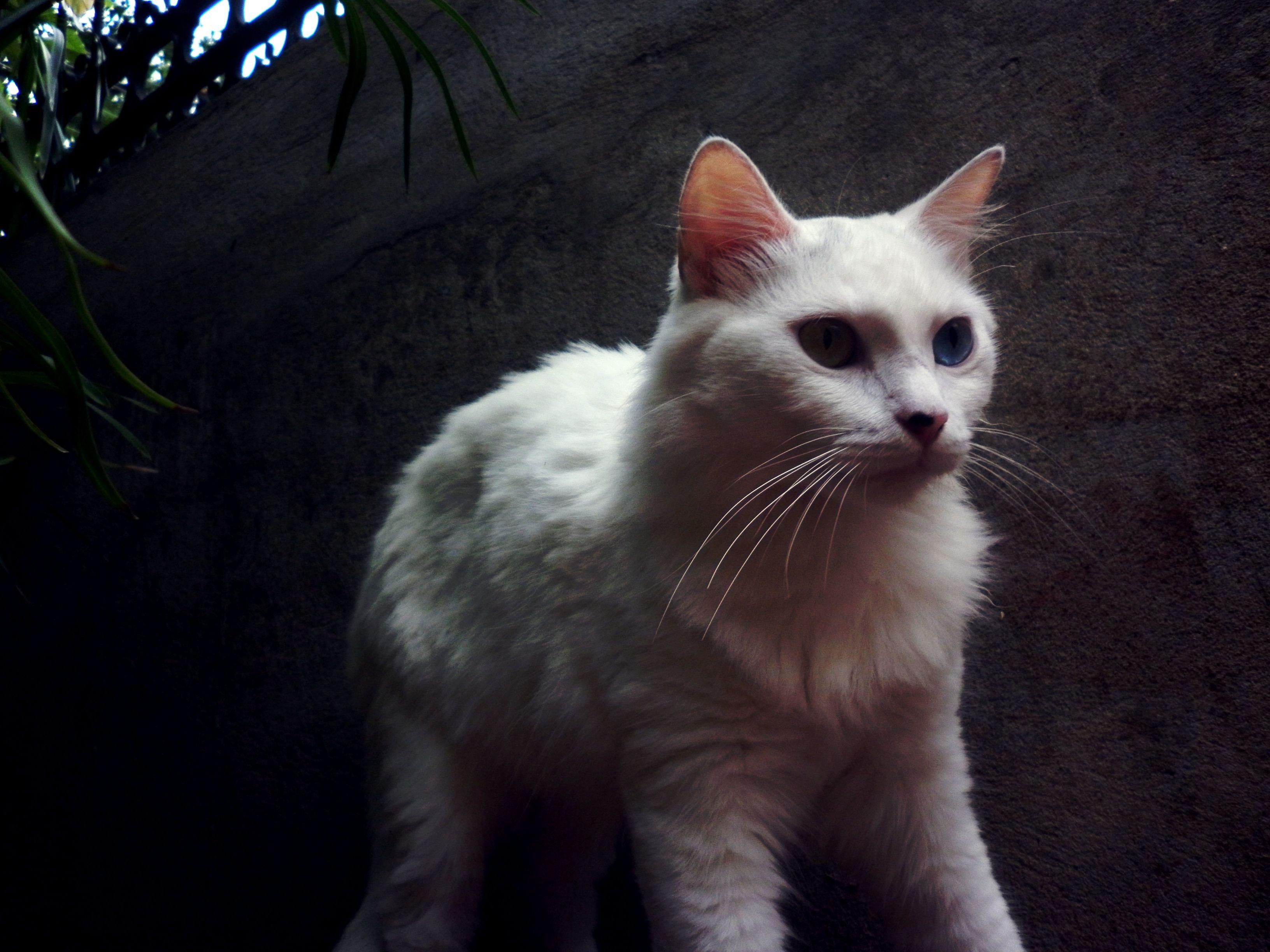 Uta A Khao Manee Cat Animals Cats Utas
