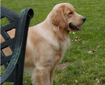 Penny Lane Goldens Award Winning Golden Retriever Breeder In New