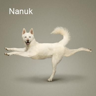 funny pictures of dogs in yoga poses  animal yoga dog