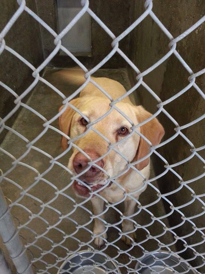 SUPER URGENT!! 2/21 STILL THERE BUT NOT FOR LONG! THIS BEAUTIFUL GUY NEEDS OUT! THEY ARE A HIGH KILL SHELTER!  Located at Odessa, Texas Animal Control Lab male 3-5 years old Kennel A2 Available 2-24-2014**$51 to Adopt https://www.facebook.com/speakingupforthosewhocant/photos/a.573572332667009.1073741829.248355401855372/732541383436769/?type=1&theater