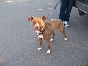 Dog Finder Adopt A Dog Or Cat Near You Pitbull Terrier Dogs Kittens Puppies
