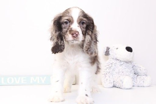 Cocker Spaniel Puppy For Sale In Naples Fl Adn 29591 On