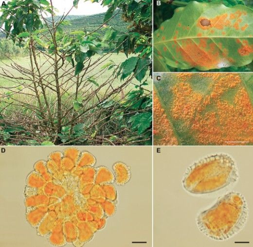 Plant diseases caused by fungi that have had a major impact