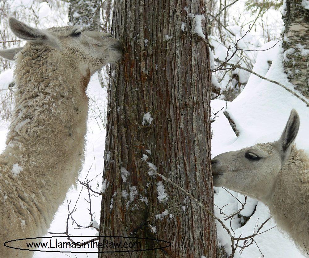 llamas eating cedar bark and other conifers