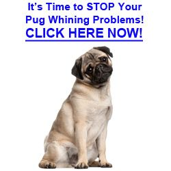 6 Tips On How To Stop Pug From Whining Medical Problems Pugs