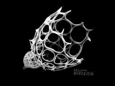 helmut         (Radiolarian