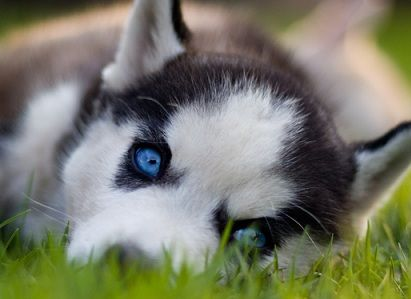 Gorgeous Siberian Husky Puppy With Bright Blue Eyes Laying In The