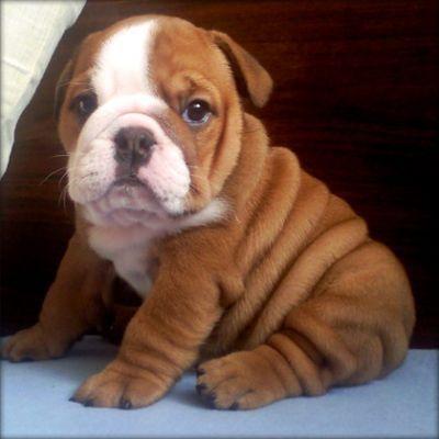 We Re Talking Bulldogs And Ghosts Cute Bulldog Puppies Cute
