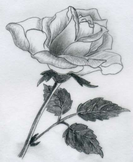 A couple of pencil rose drawings