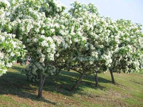 Chinese Fringe Tree Chionanthus Retusus Has Pure White