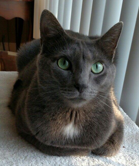 Django Grey Cats Feline Cats
