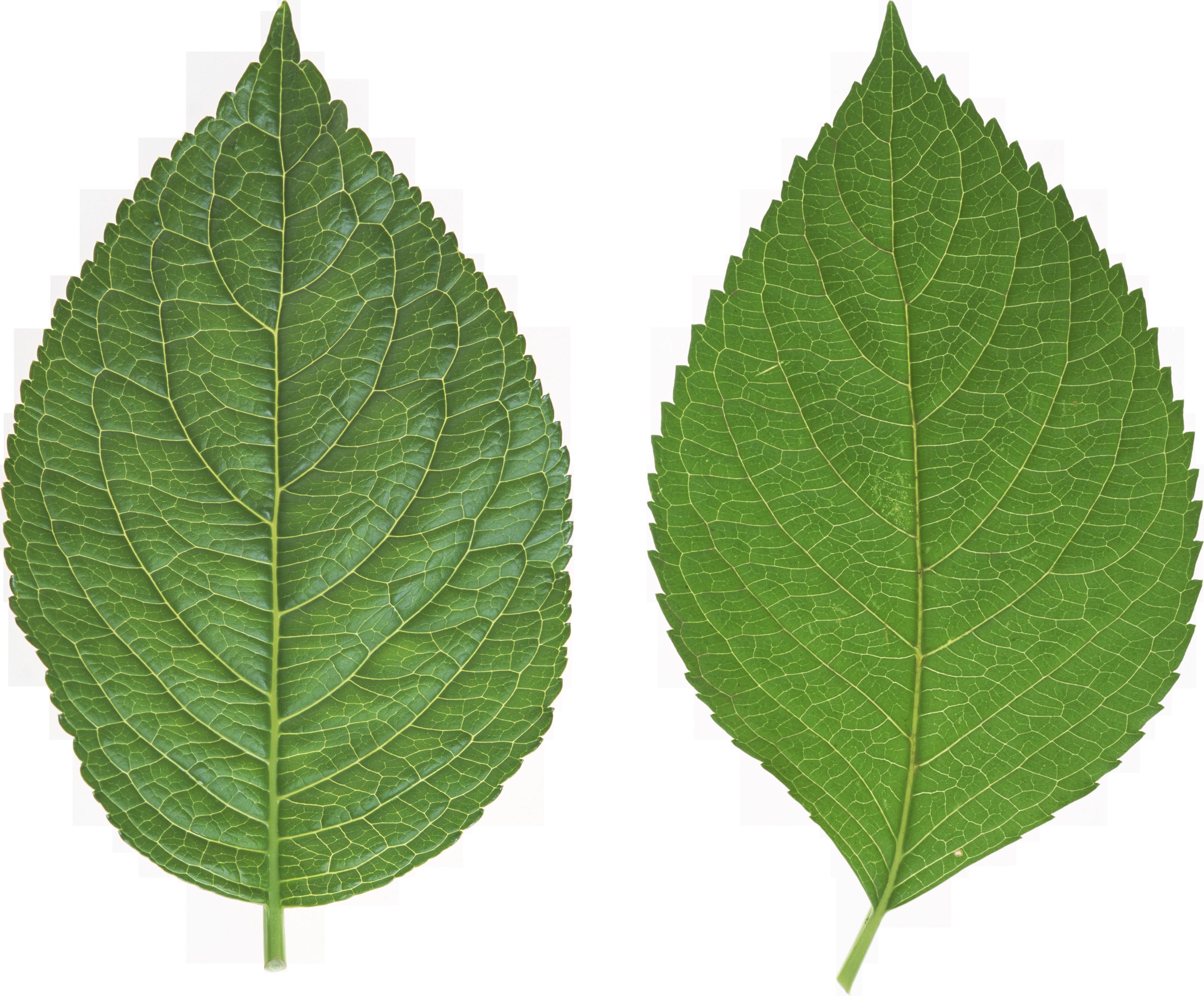 Leaf Pesquisa Google Folhas