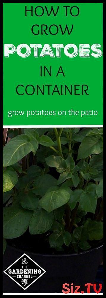 How To Grow Potatoes In A Container How To Grow Potatoes In A Container Potatoes Are One Of The Easiest Vegetables To Grow They Do Well In Most Garden Soils And They Are Ideal For Container Gardening In Fact Growing Potatoes In Containers Is A Great Way To Include Your Children In The Gardening Process Learn How To Grow #balconygardenflowershowtogrow #grow #potatoes #container #easiest #vegetables #they #well #most #garden #soils #ideal #gardening #fact #growing #containers #great #include #your #growingpotatoes