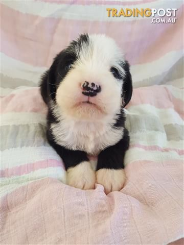 Https Www Tradingpost Com Au Pets And Horses Dogs Old English Sheepdog X Boxer Puppies Moree Nsw Adnumber With Images Boxer Puppies Old English Sheepdog English Sheepdog