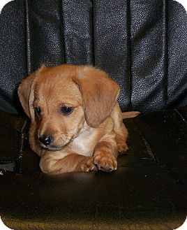 Rochester Ny Dachshund Shih Tzu Mix Meet Jolly A Puppy For