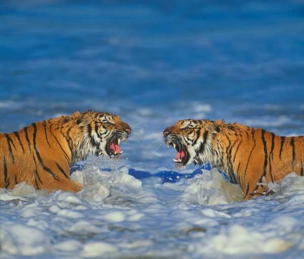 Two Siberian (Amur) Tigers facing off.
