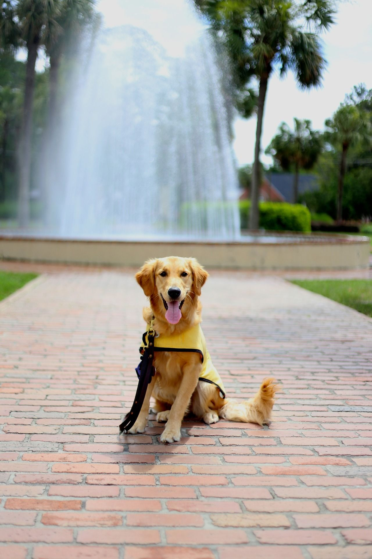 Guide Dog In Training Stella Golden Retriever Mom Dogs Of The