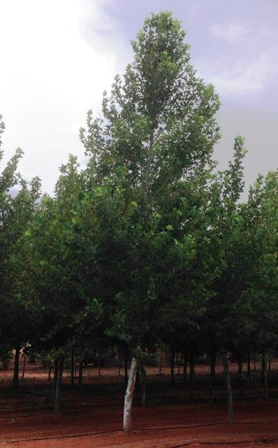 Trees For Sale 100 00 Fast Growing Trees Honey Locust