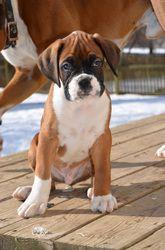 Puppies I (November 2010) We love boxers! Mascotas