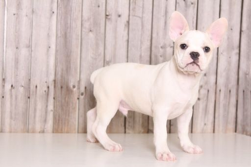 French Bulldog Puppy For Sale In Mount Vernon Oh Adn 39029 On