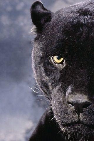 puma animal black