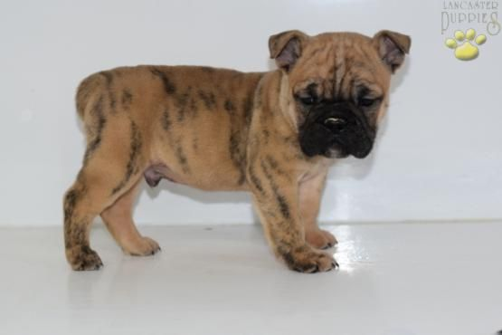 Mo English Bulldog Hybrid Puppy For Sale In Penn Yan Ny