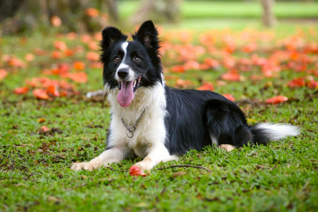63 Border Collie Magazine In 2020 Dog Breeds Collie Puppies Healthiest Dog Breeds