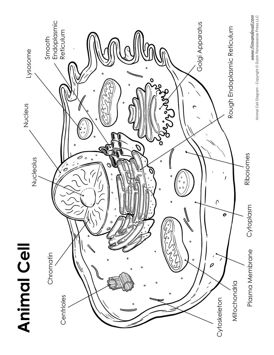 Animal Cell Labeled Jpg 927 1200 Animal Cell Drawing Animal Cell Cell Diagram