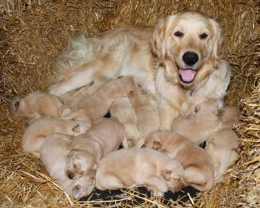 Akc Golden Retriever Puppies Light Color Beautiful With Images