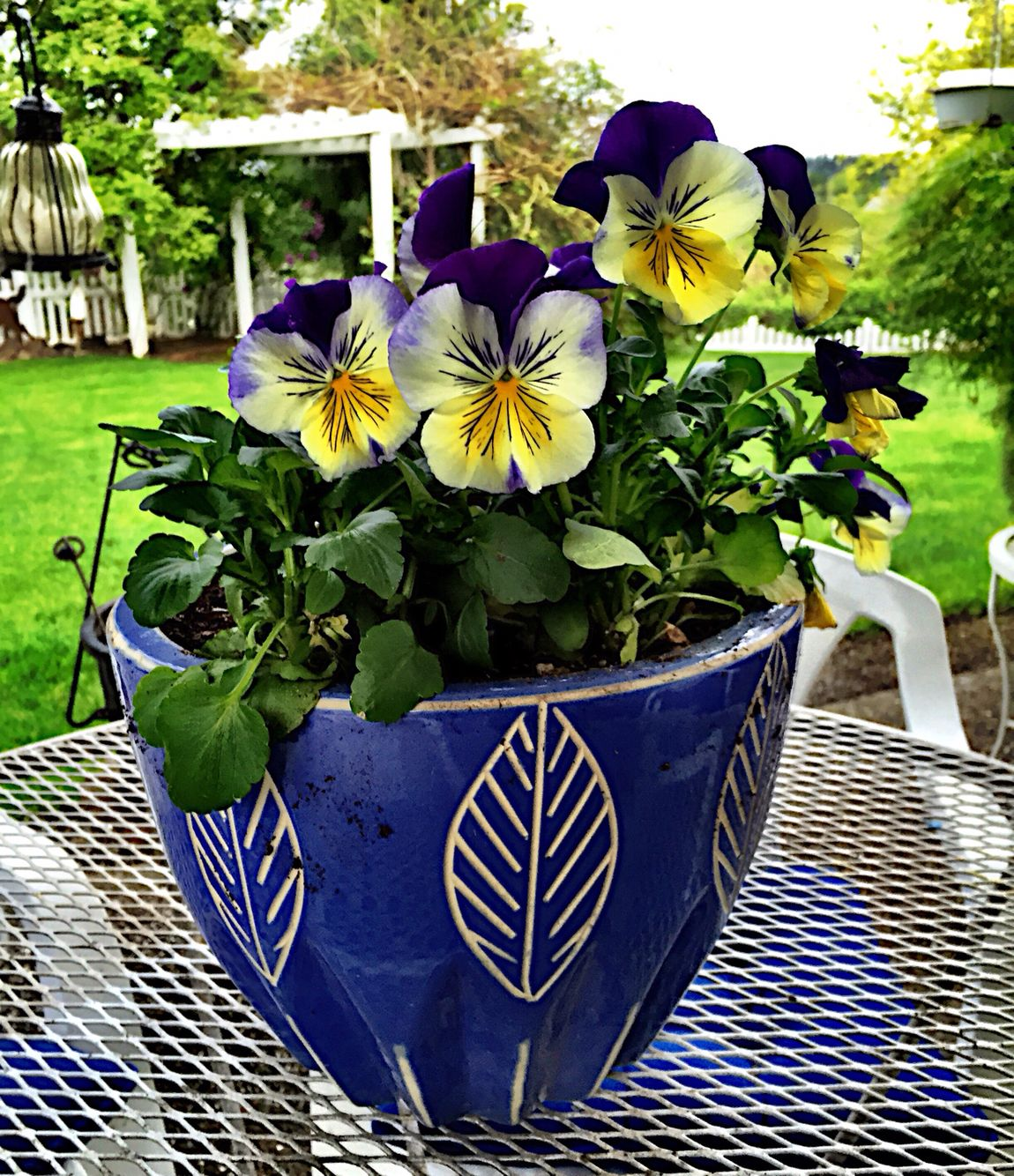 Lovely pansies at Blue Pansy Cottage