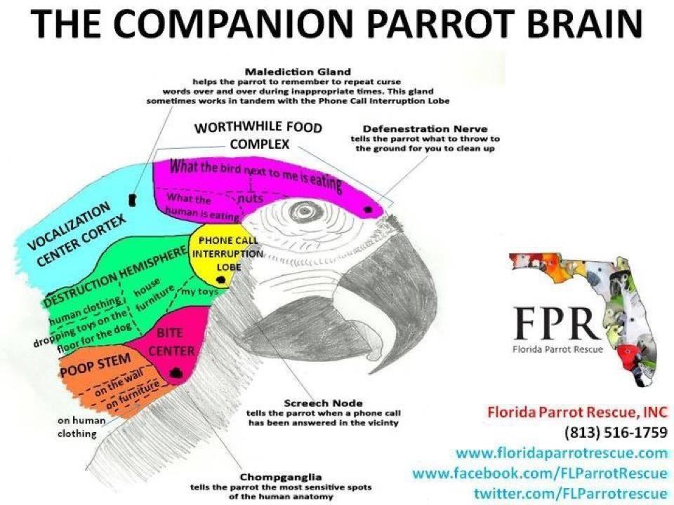 The Companion Parrot Brain | BIRD STUFF | Pinterest | Bird, African ...