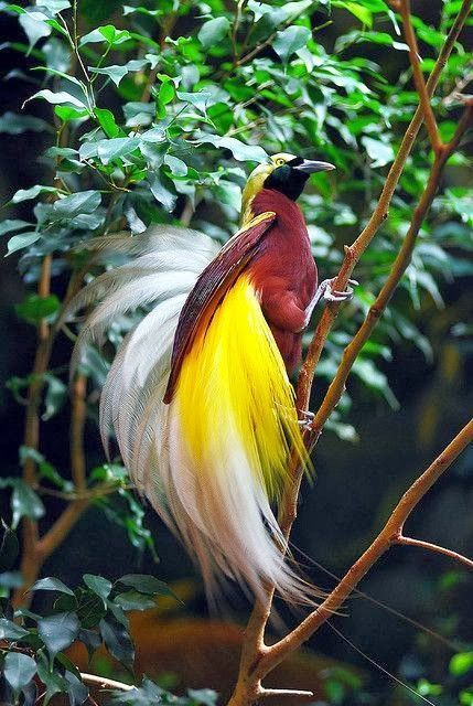 Bird of Paradise. zeker een PARIJS VOGEL.