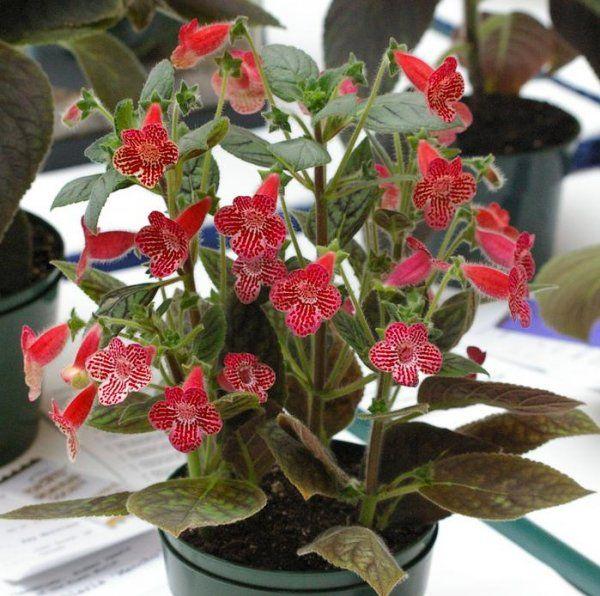 Фото распространенных комнатных растений с названиями ...