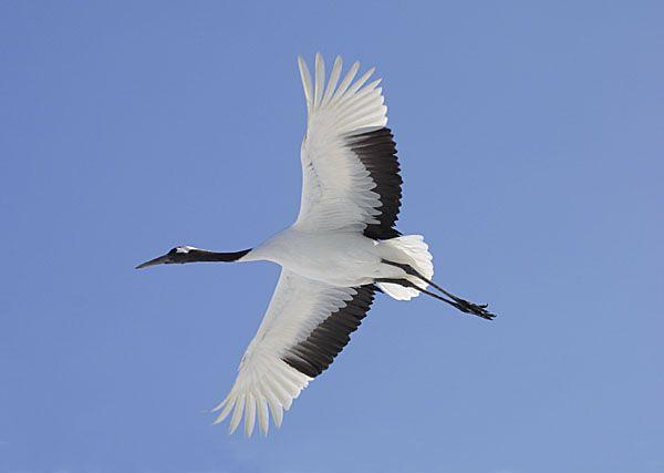 Japanese Crane in flight, Hokkaido